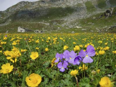 VALLE D'AOSTA-Alpeggio Boccon-fioritura (foto Parco Mont Avic)