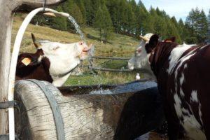VALLE D'AOSTA-Mucche alla fontana