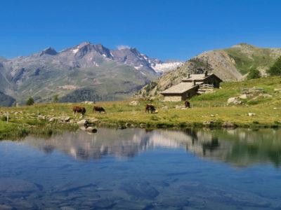 VALLE D'AOSTA-Mucche lago Muffé Champorcher (foto Enrico Romanzi)-4317