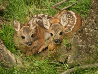 VALLE D'AOSTA-Piccoli caprioli Parc Animalier Introd-062